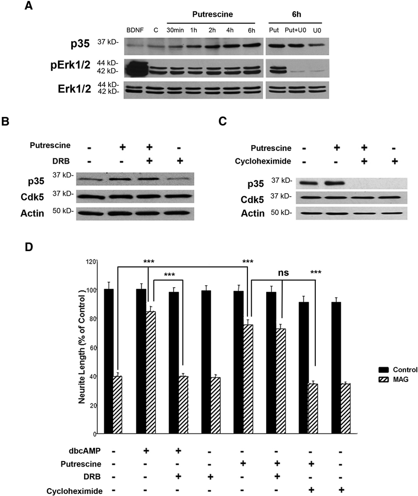 hight resolution of putrescine mediated induction of p35 expression and reversal of mag mediated inhibition are translation