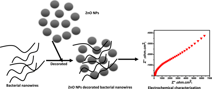 Schematic representation of ZnO NPs decorated bacterial