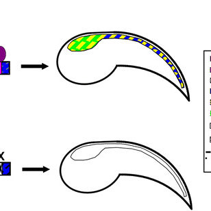 Deletion analysis of the Bf-Gsx-Up-Proximal construct. a