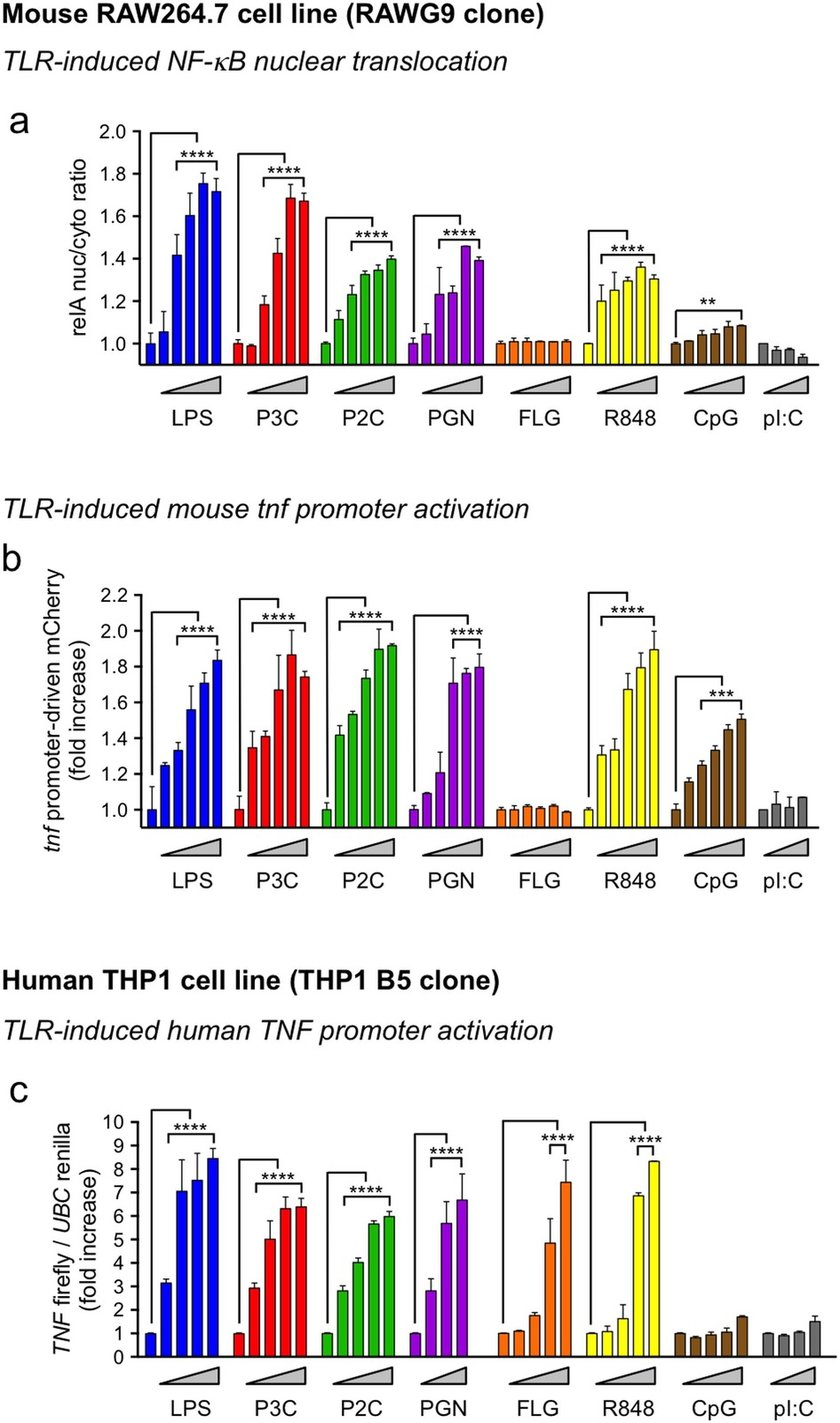 hight resolution of tlr ligand dose responses in mouse and human macrophage reporter cell lines a b dose response of a cytosol to nuclear translocation of the gfp rela