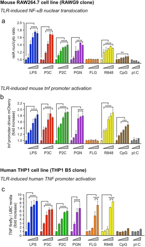 small resolution of tlr ligand dose responses in mouse and human macrophage reporter cell lines a b dose response of a cytosol to nuclear translocation of the gfp rela