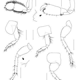 Ampithoe lacertosa Bate, male. A, body; B, antenna 1; C