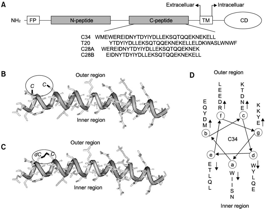 Schematic representation of HIV-1 gp41 and peptide