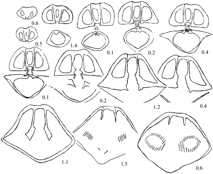 Uchtospirifer nalivkini Ljaschenko, 1957, specimen VNIGNI
