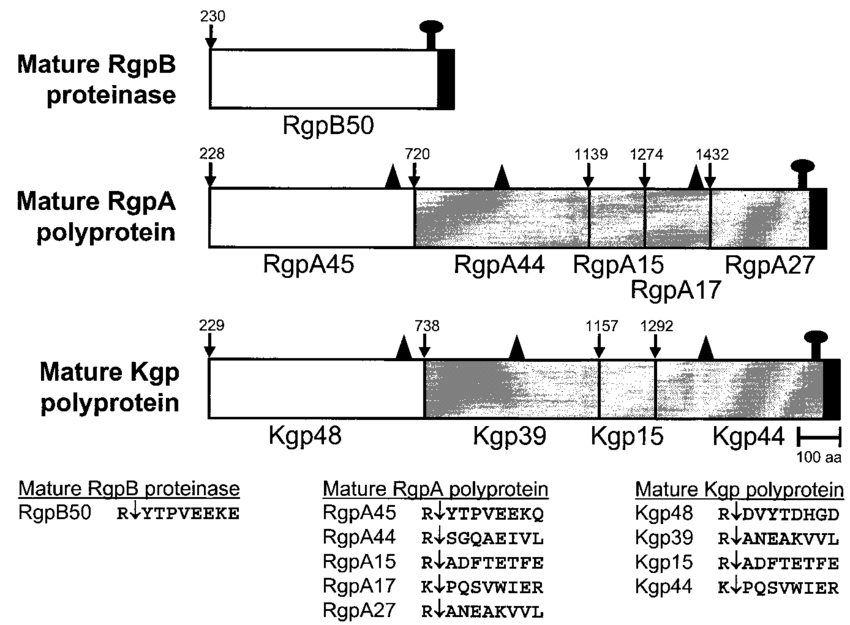 Schematic representation of the processing of the RgpA and