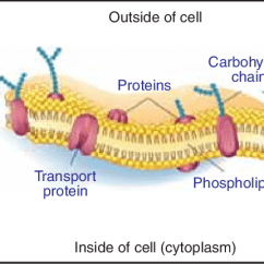 Diagram Of Fluid Mosaic Model Cell Membrane Bmw E46 Wiring 2 A The Proteins Are Difficult To Produce In Laboratory Because They Often Unstable Unless Bound