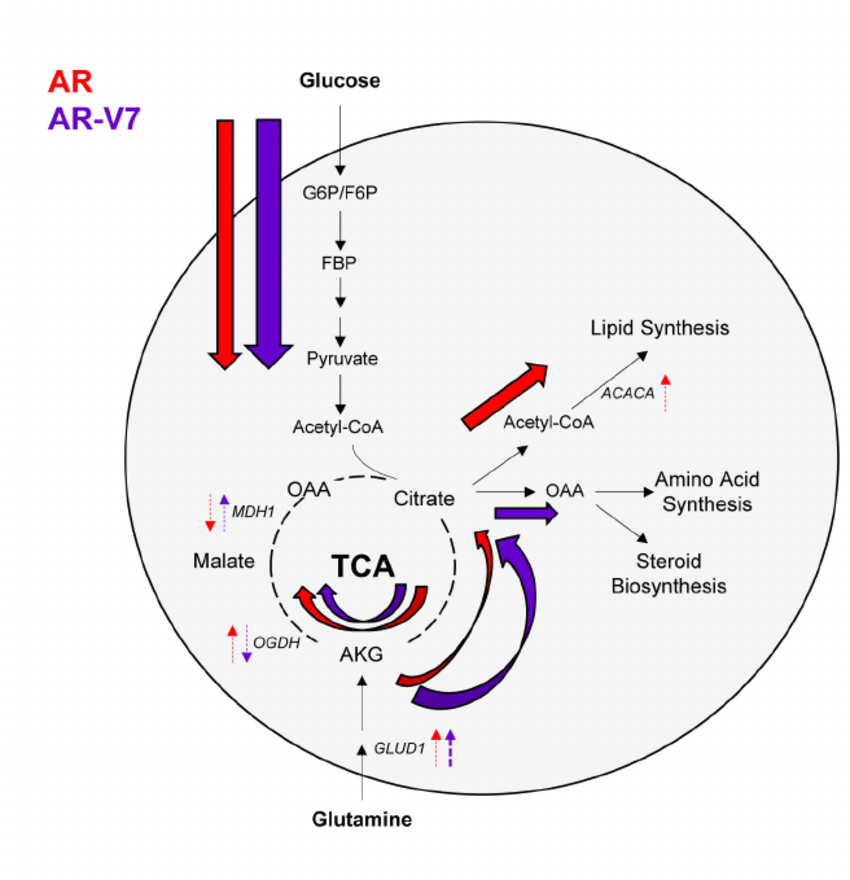AR utilizes the TCA cycle, while AR-V7 preferentially