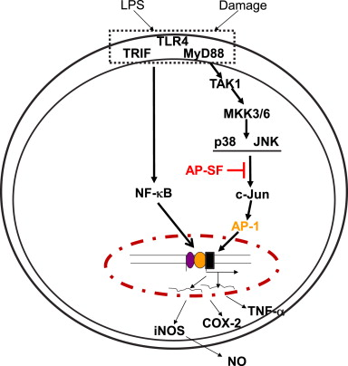 Putative inhibitory pathway of the AP-SF-mediated anti