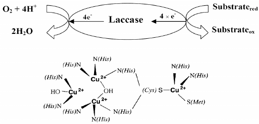 Schematic diagram of catalytic reaction of laccase and