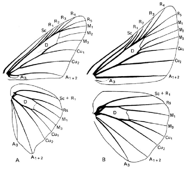 Wing venation. Hesperiidae. A (on the left): Epargyreus