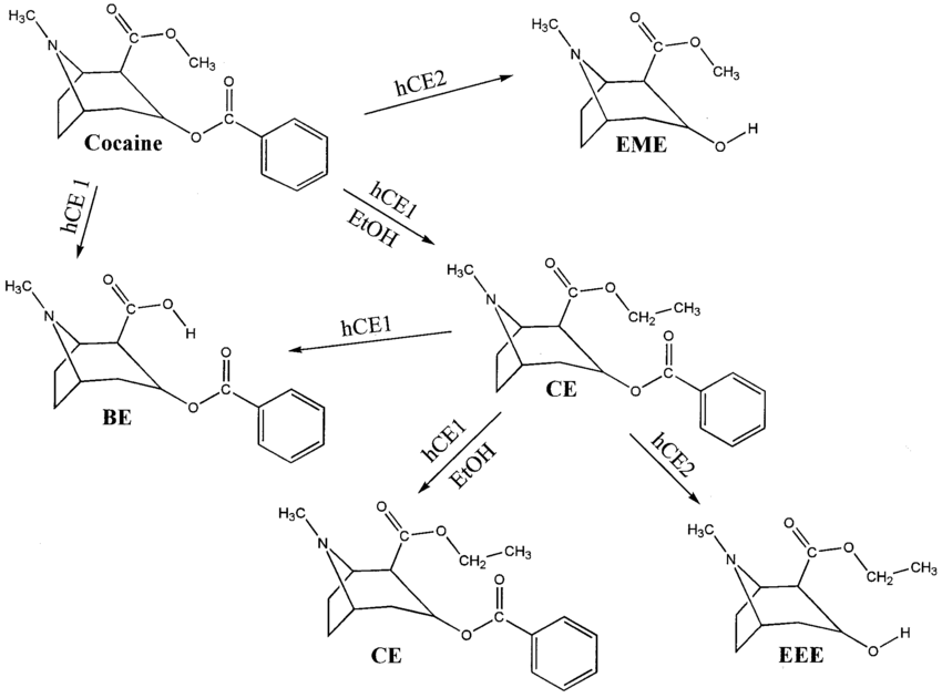 Carboxylesterase metabolism of cocaine and cocaethylene