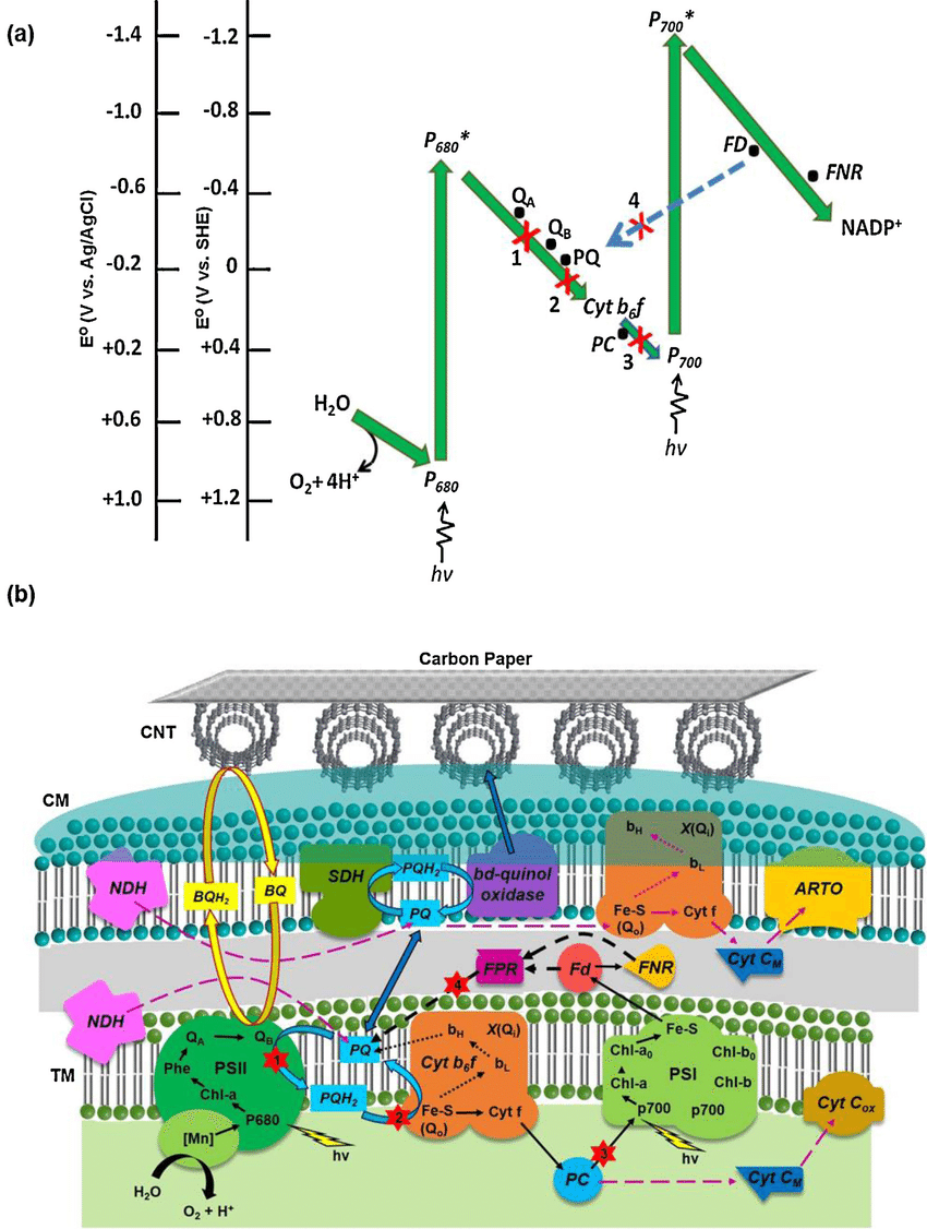 electron transport chain diagram for dummies jake brake wiring 3406b a schematic of photosynthetic p etc in higher plants with their corresponding redox potential the green solid arrows represent
