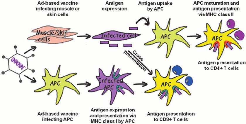 Mechanism of action of adenovirus-based vaccine after intramuscular... | Download Scientific Diagram
