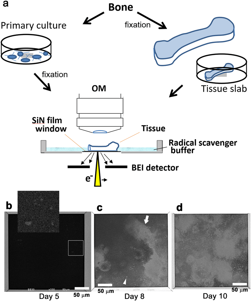 hight resolution of asem of unstained osteoblast primary culture or bone tissue immersed in aqueous liquid a