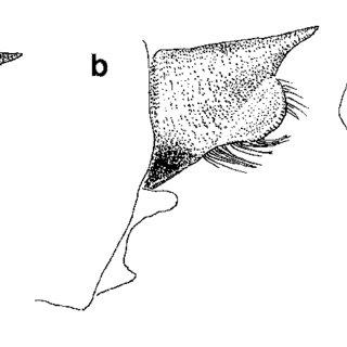Argia (Coenagrionidae) — (a) head (dorsal view) of male