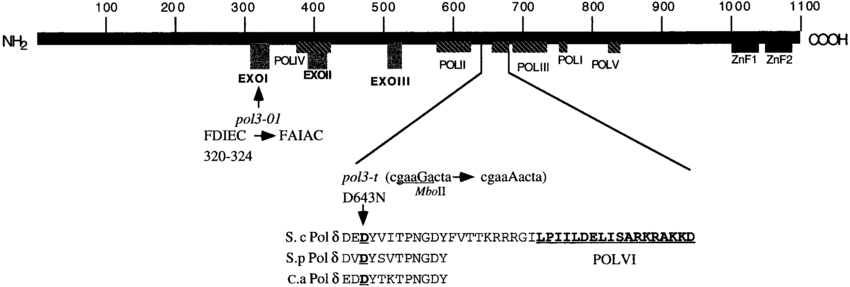 -Location of the proofreading (pol3-01) and polymerase (pol3-t)... | Download Scientific Diagram