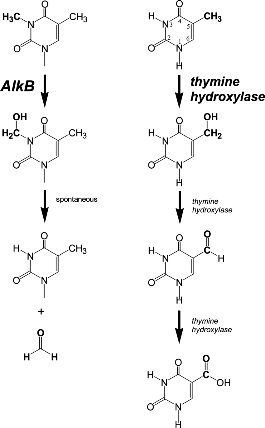 medium resolution of reactions catalyzed by alkb left and th right each download scientific diagram