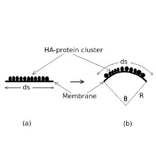Viral membrane of length L with two groups of protein