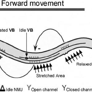 (PDF) The Role of DEG/ENaC Ion Channels in Sensory