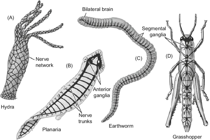 [DIAGRAM] Why We Study Invertebrate Brains Wiring Diagram
