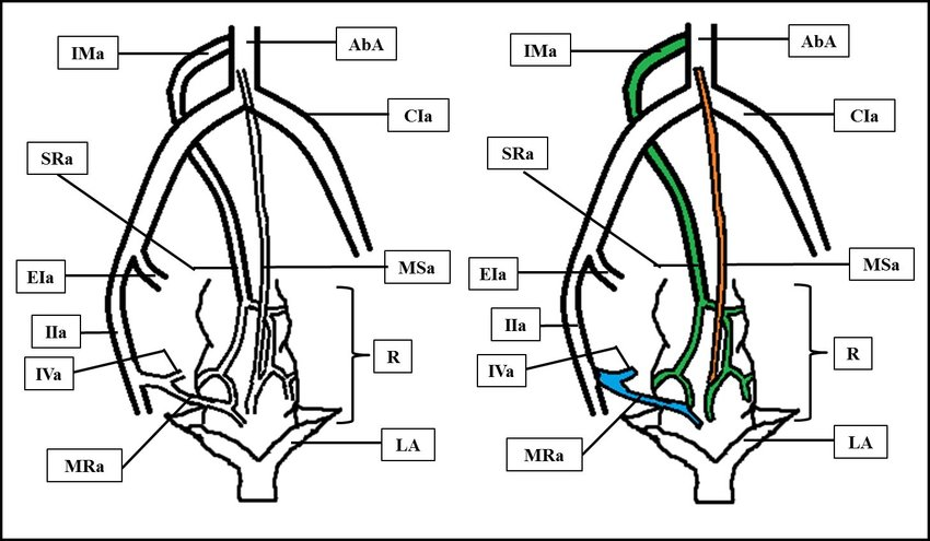 Schematic diagram of posterior view of inferior vesical
