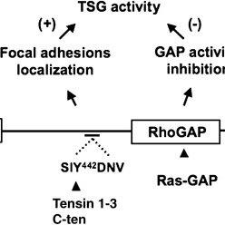 Identification of Ras-GAP as a DLC1 binding partner. (A