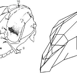 (PDF) A three-dimensional geometric morphometric analysis