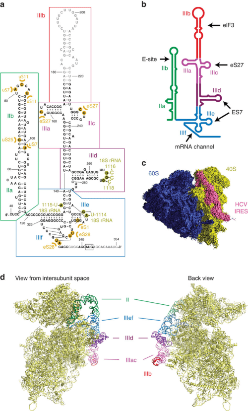 small resolution of hcv ires bound to human ribosome a secondary structure diagram of the hcv ires the various domains are indicated by different colours and roman numbers