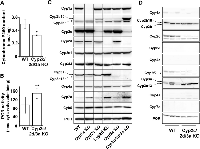 Cytochrome P450 isozyme and P450 reductase expression in