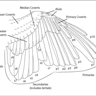 Wing feather topology, numbering, and typical molt