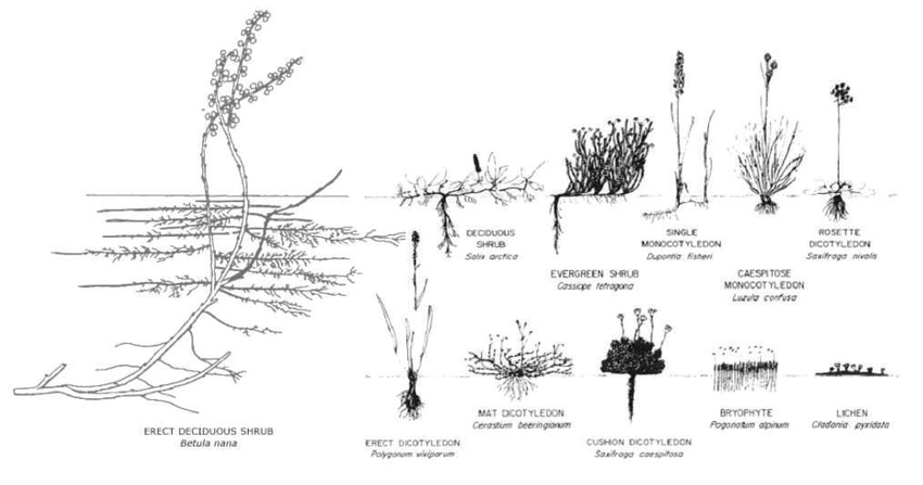 Growth forms of Arctic plants (modified from Webber et al