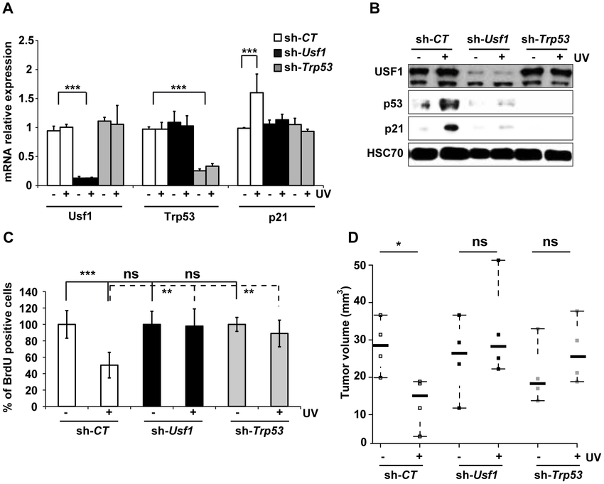 USF1 mediates p53-dependent cell cycle arrest. B16