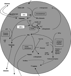 schematic representation of amino acid metabolism in the bovine blastocyst including the site of action of [ 850 x 1071 Pixel ]
