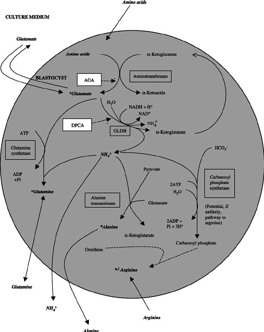 hight resolution of schematic representation of amino acid metabolism in the bovine blastocyst including the site of action of