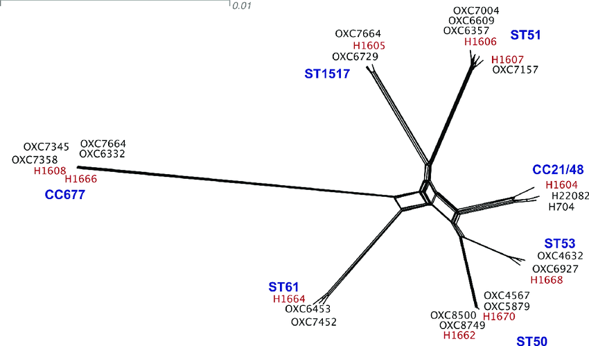 NeighborNet diagram of the genetic similarity of strains