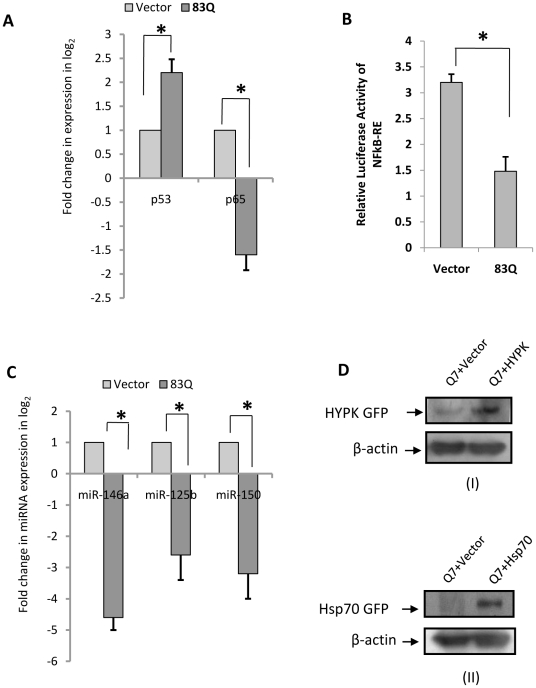 Regulation of miR-146a by RelA/NFkB and p53 in STHdh(Q111