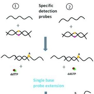 | Principle of Oligonucleotide ligation assay (OLA) (green