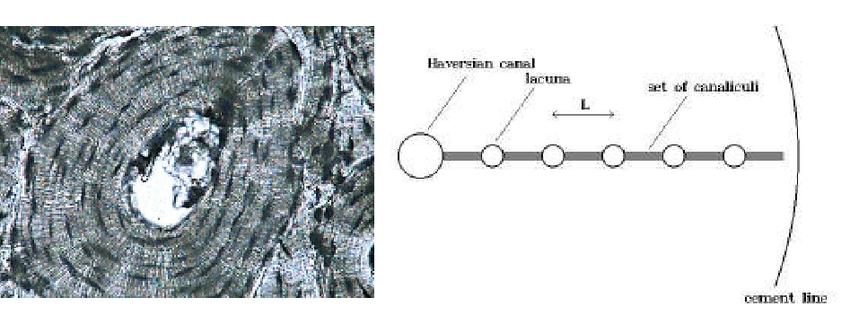 Piekarski and Munro model of Haversian Canal- lacunae- canaliculi...   Download Scientific Diagram