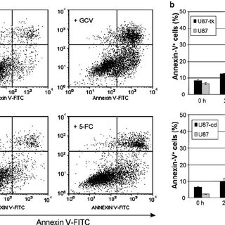 TK/GCV- and CD/5-FC-induced apoptosis in U87 cells is not