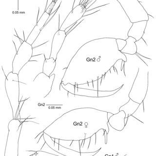 Borikenella spinosa gen. nov., sp. nov. Abdomen of