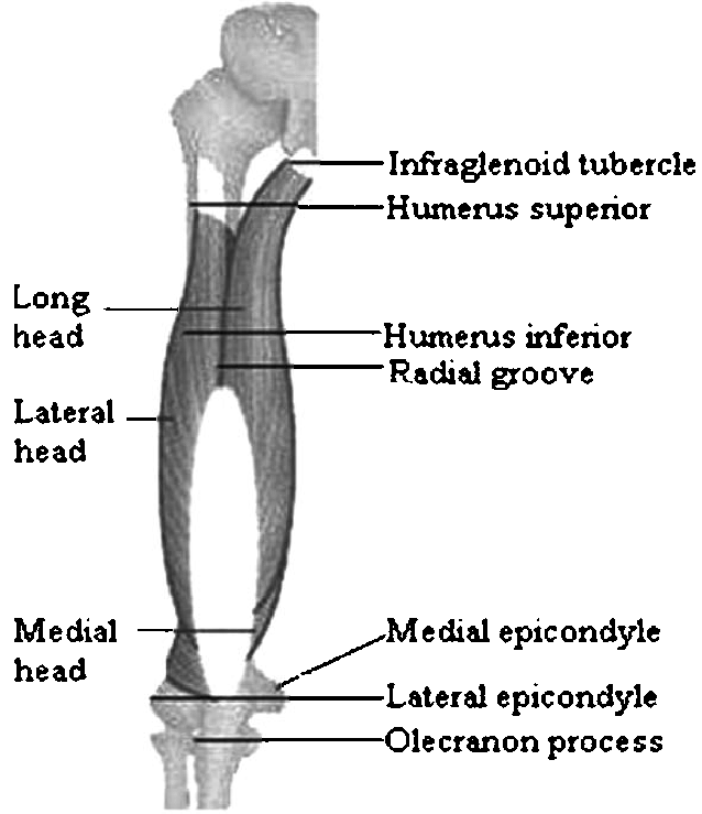 triceps brachii diagram l4 nerve pain anatomical locations of the muscle left side mentioning