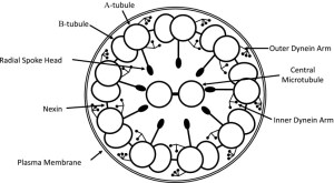 Schematic diagram of the ultrastructure of the axoneme of