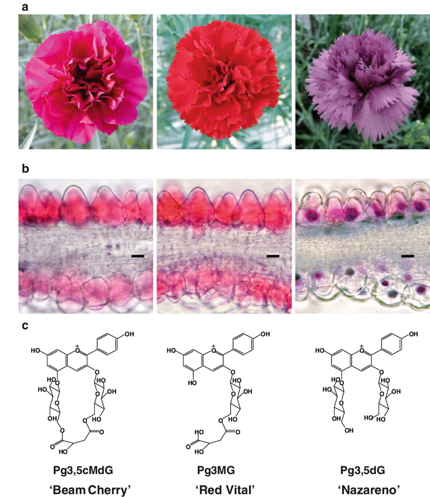 medium resolution of flower phenotypes a microscopic photographs of transverse download scientific diagram