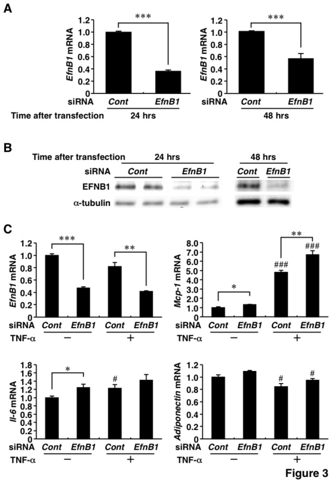 The small inhibitory RNA (siRNA) for Ephrin-B1 was