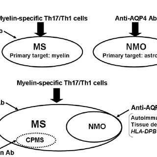 Two hypothetical mechanisms in MS and NMO. ( A ) Anti-AQP4