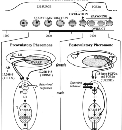 schematic model of female pheromone effects on male goldfish see text for details and stacey [ 850 x 961 Pixel ]