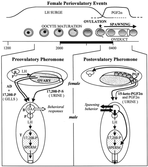 small resolution of schematic model of female pheromone effects on male goldfish see text for details and stacey