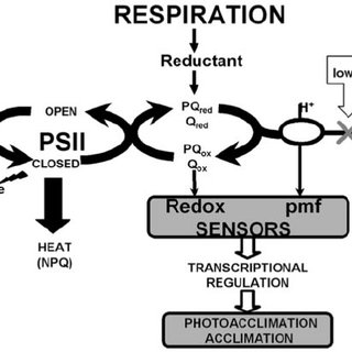 (PDF) Adaptation and Acclimation of Photosynthetic
