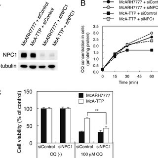 TTP KO mice are easily affected by CQ hepatotoxicity. Male