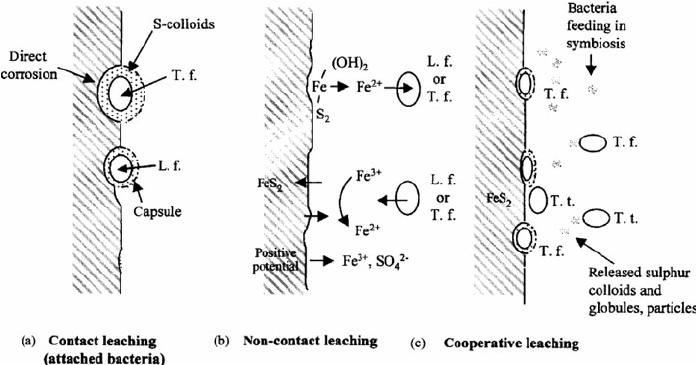 Bio-leaching mechanism (a) contact leaching by A